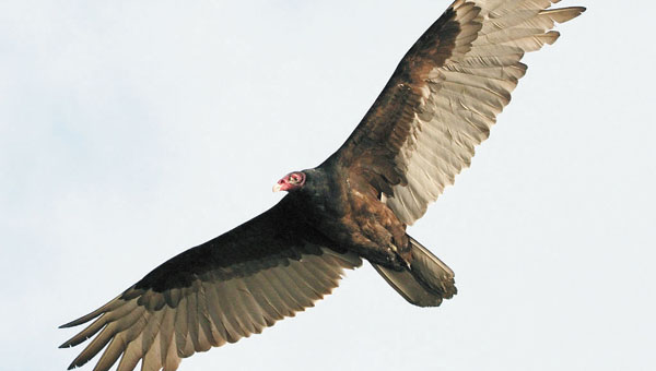 Shown is a turkey vulture. | Courtesy photo