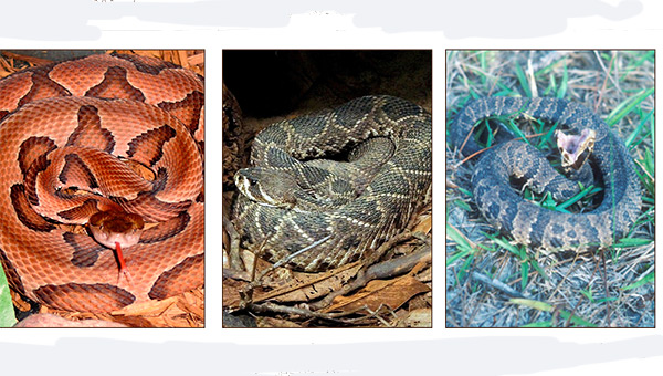 Shown are three types of venomous snakes prevalent in Alabama, including the copperhead, eastern diamondback rattlesnakes and the cottomouth.